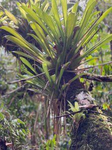 Plante epiphyte Vieux-habitant Guadeloupe